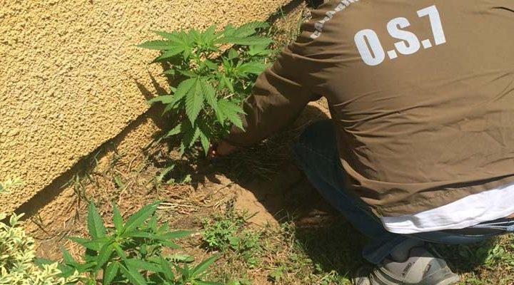 Detienen a hombre que mantenía cultivo de marihuana en el frontis de su inmueble en Temuco