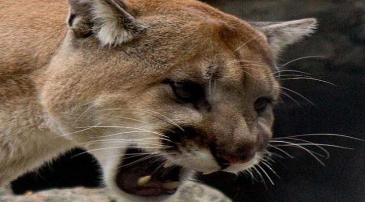 Día de los enamorados: Carabineros salvó a pareja del ataque de un puma en Angol