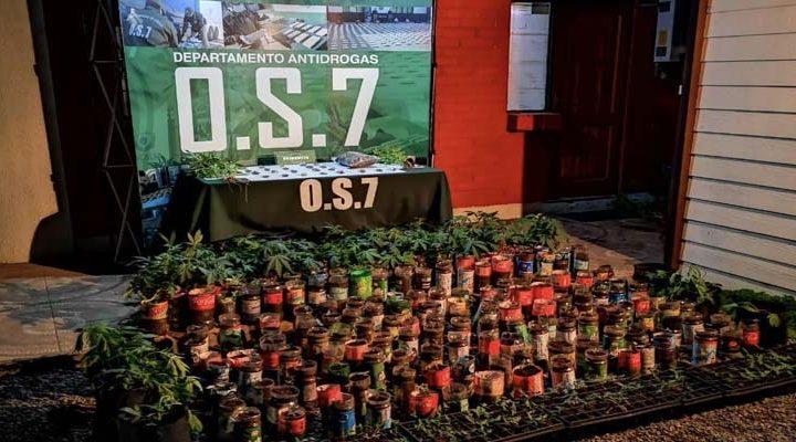 Incautan cultivo de 547 plantas de Cannabis Sativa y marihuana prensada en Temuco