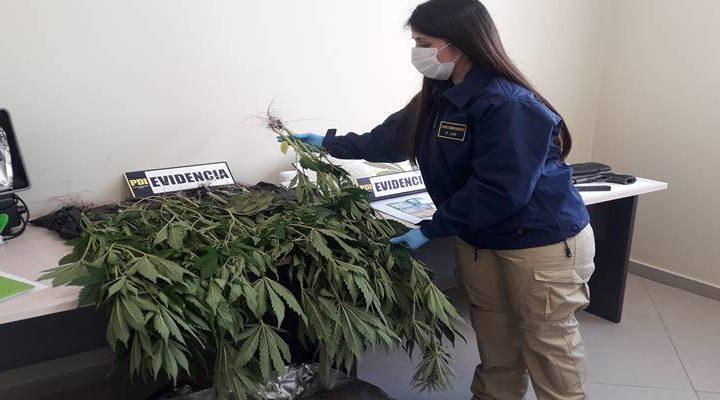PDI  detiene a hombre por tenencia de armas de fuego y cultivo de cannabis en Temuco