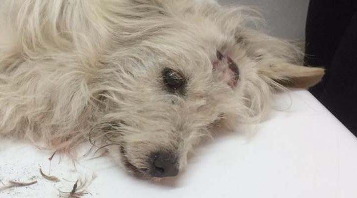 """Inician """"Perrotón"""": campaña solidaria para pagar costoso tratamiento de perrito vagabundo atropellado"""
