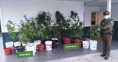 Incautan 22 plantas de marihuana sacando de circulación más de 13 mil dosis de droga avaluada en más de $13 millones