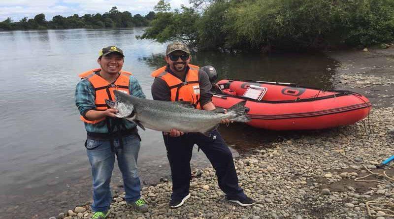 El domingo se abre temporada del salmón Chinook en el rio Toltén